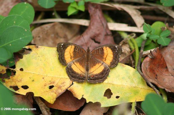 Gelber und brauner Schmetterling