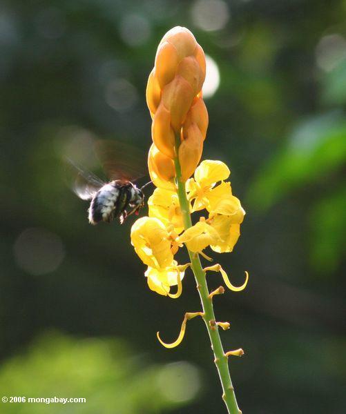 Abelha doméstica que prepara-se para aterrar na flor amarela