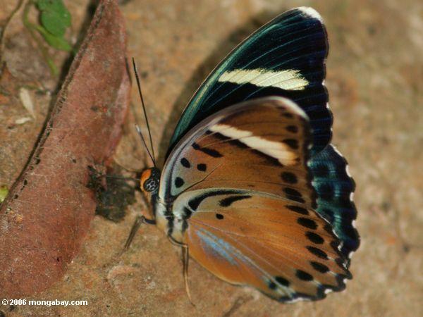 Schwarzes, Bronze, Grün und blauer Schmetterling, der auf den Vogel fällt auf Waldfußboden Akaka