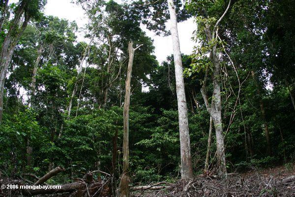 Waldbeschädigung verursacht durch Elefanten