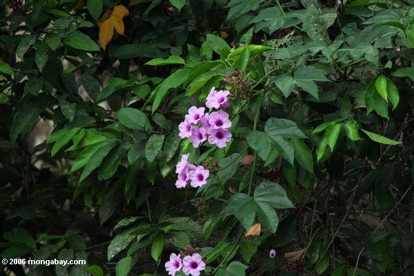 Winde blüht das Wachsen im rainforest Gabun