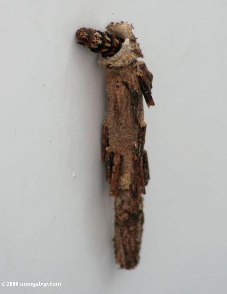 гусениц, живущих в кору кокон