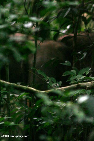Aufladenelefant in Gabun