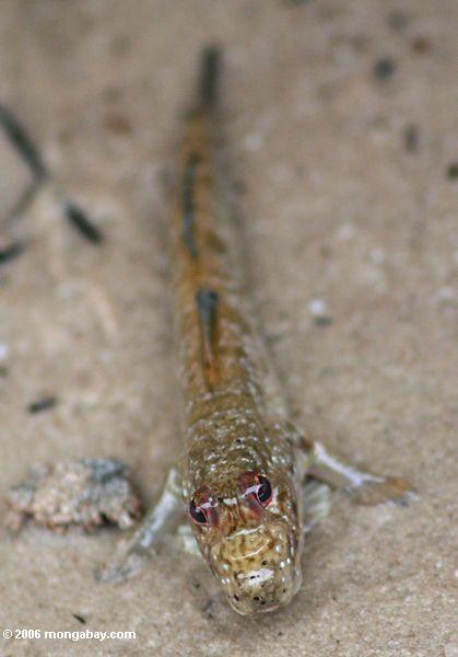 Mudskipper em uma praia perto do parque nacional de Loango