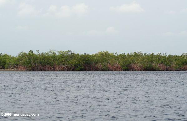 Mangroven in Loango Mündung
