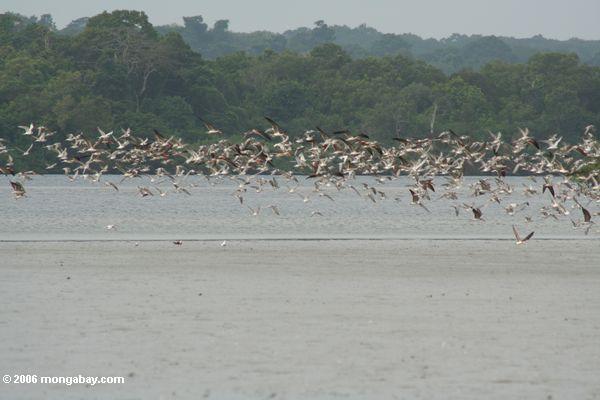Viele Vögel im Flug in der Loango Mündung