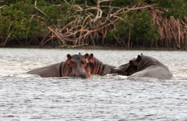 Flußpferde (Hippopotamus amphibius) in der Loango Flußmündung
