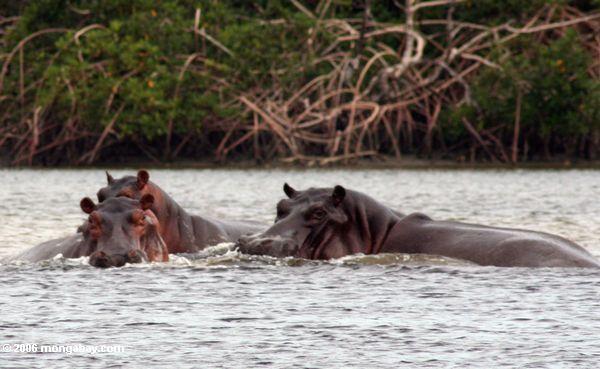 "Flußpferde Loango im Nationalpark, Haus der ""surfende Flußpferd-"""