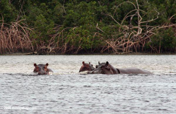 Hippopotami (Hippopotamus amphibius) in der Iguela Mündung