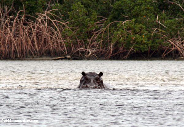 Hippopotamus (Hippopotamus amphibius) in der Loango Mündung