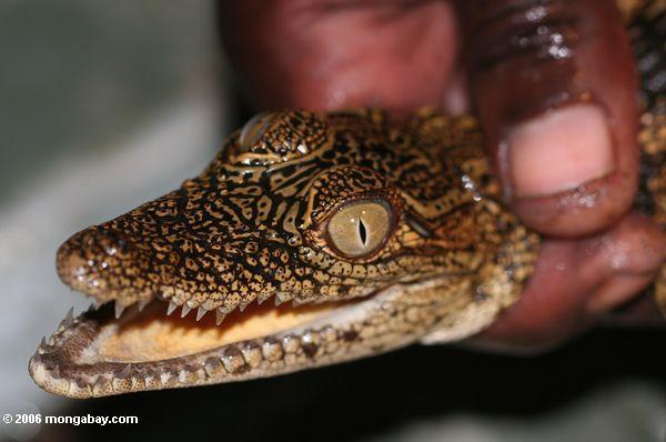 ребенок крокодил провел в руководстве руку в Габоне