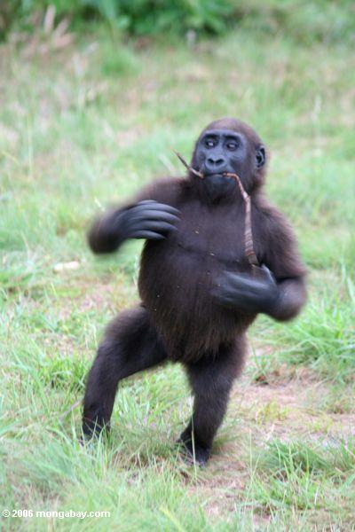 молодых мужчин, горилла стучать своей груди