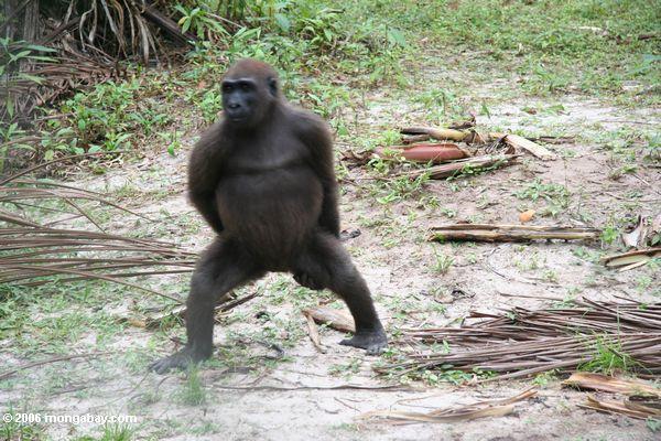 Tanzende Gorilla (Teil 2)