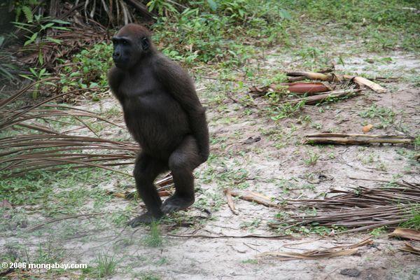Tanzender Gorilla (Teil 3)