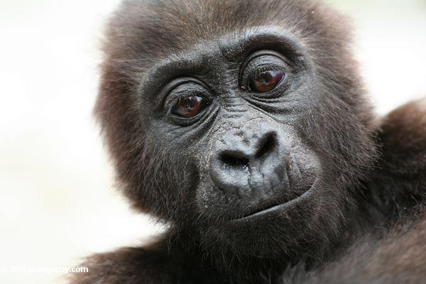 Infant lowland gorilla in the Congo basin rainforest.
