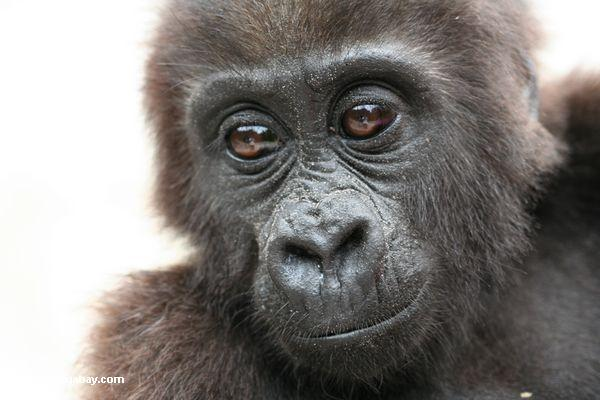 Baby gorilla (Gorilla gorilla)