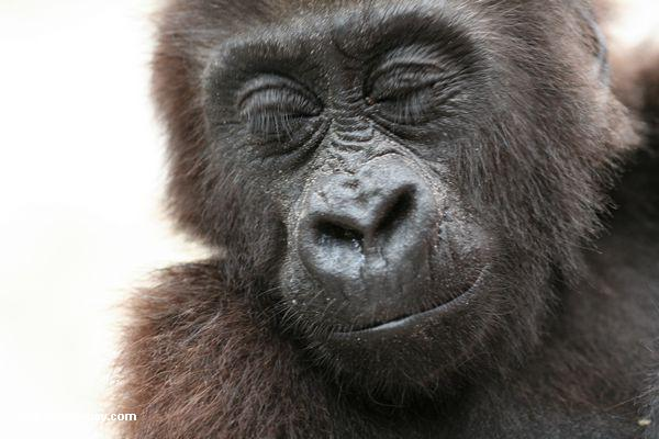 Gorilla do bebê (gorilla do Gorilla)