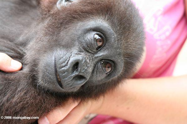 Baby gorilla in the arms of a care taker at Evengue