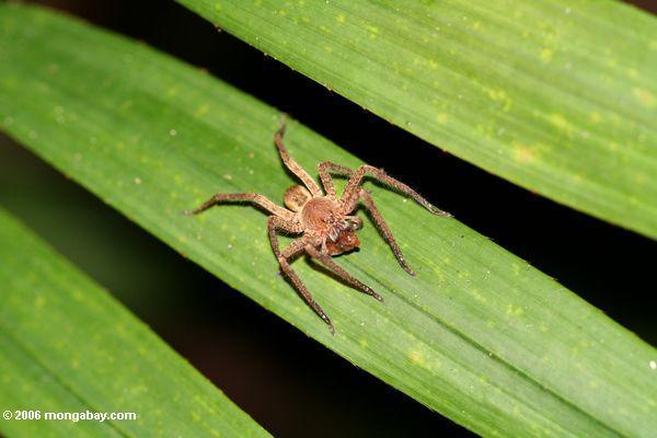 Spinne auf Blatt in Gabun