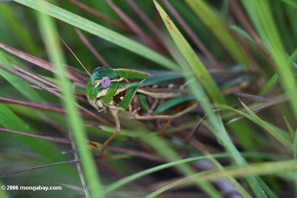 Grüne, gelbe und braune Heuschrecke