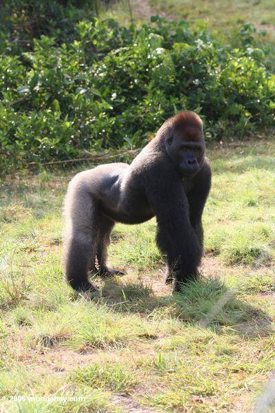 Сильвербэк горилл в профиль с арочный назад