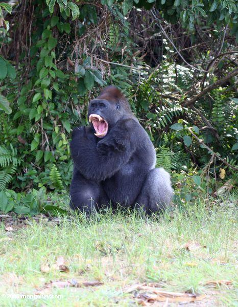 Silverback gorilla yawning and showing teeth (fangs)