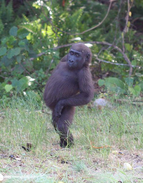 молодых мужчин, стоящих с горилла из живота