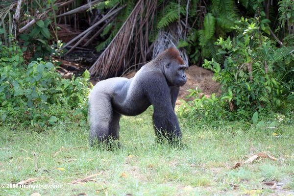 Сильвербэк горилла вблизи лесного края в Габоне