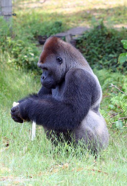 Silverback Gorillas, die einem Betriebseintragfaden abziehen