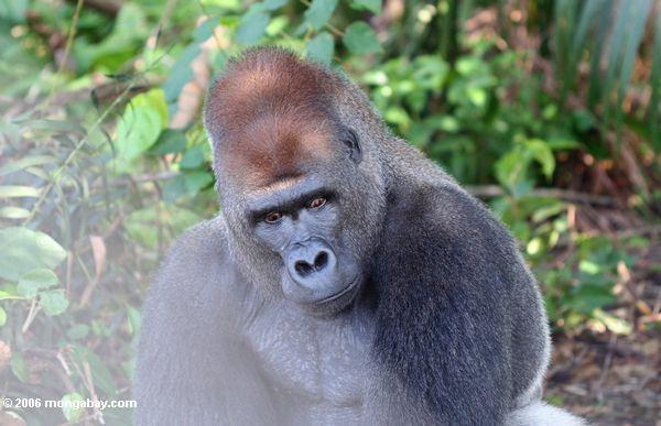 Сильвербэк горилла с нетерпением рассердился