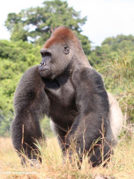 Gorilla masculino do silverback que está alto