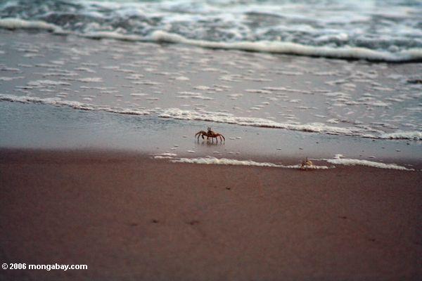 scurrying крабов на пляже