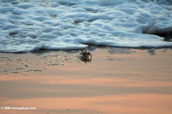 морская пена приближается краба на пляже