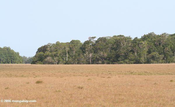 A floresta tropical inspersed com savanna - vegetação típica no parque nacional de Loango