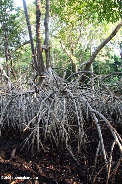 Mangroves brancos na água baixa
