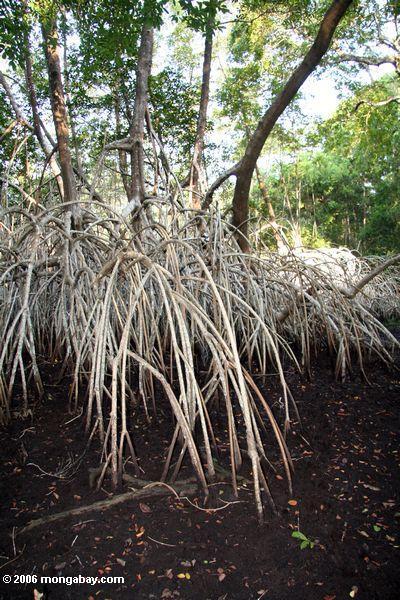 Weiße Mangroven am niedrigen Wasser