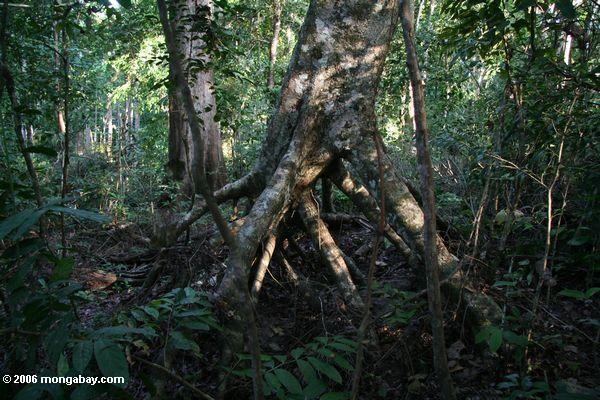 ходулочник корни тропических деревьев