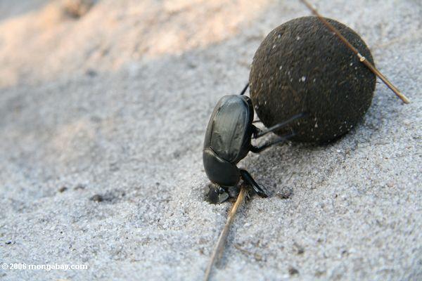 помет жука толкания мяча в навозе деятельности песок банка