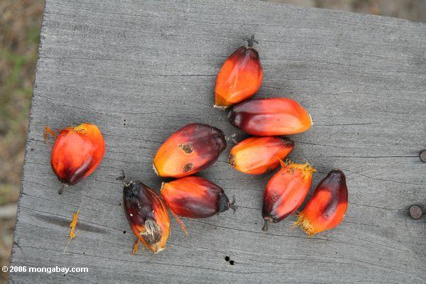 Frutas alaranjadas brilhantes da palma