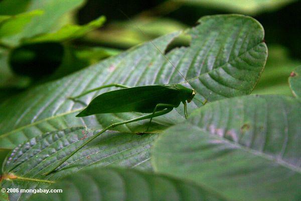 Katydid auf einem grünen Blatt Akaka