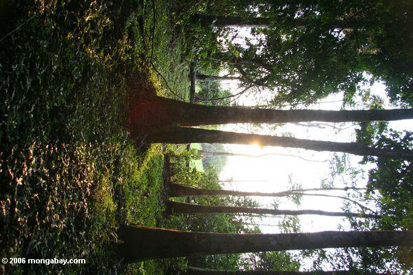 Rainforest Bäume