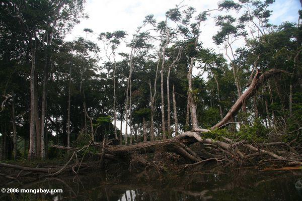 Tree fall into a rain forest river
