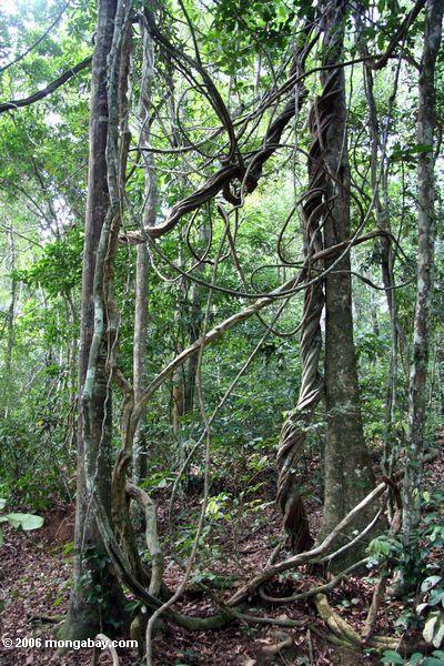 джунгли лиан в Габоне