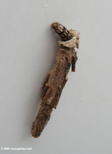 шелкопряда в защитный кокон Кора