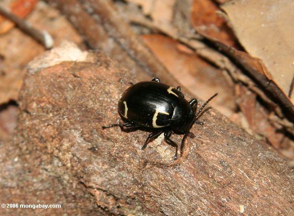 черный жук с желтой маркировкой