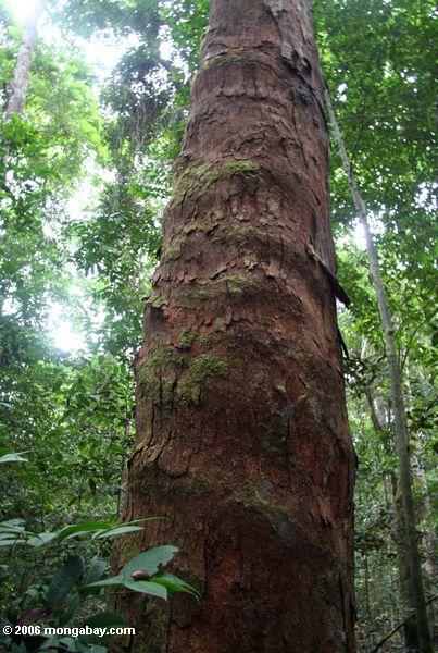 Barke des Okume Baums