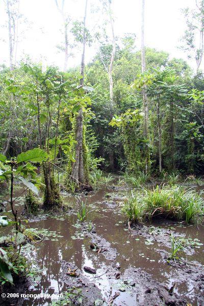 Rainforest Sumpf in Gabun
