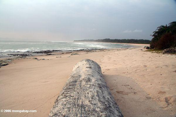 древесины adandoned после мыть берег на удаленном пляже возле loango национальный парк