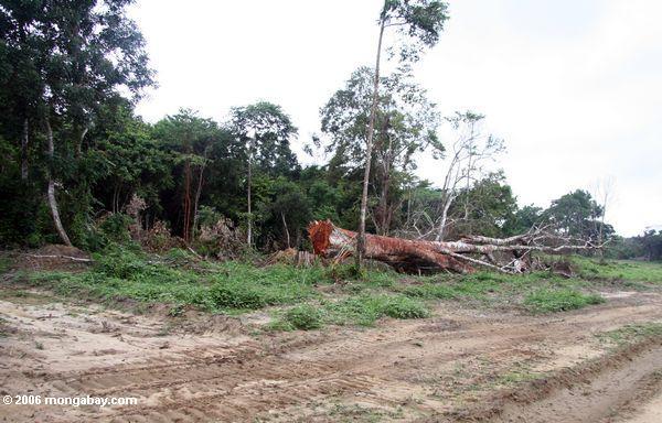 A árvore Emergent do dossel felled para a madeira em Gabon