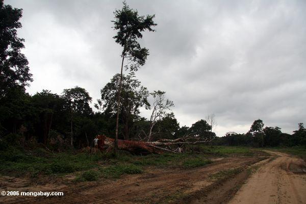 Emergent überdachungbaum felled für Bauholz in Gabun